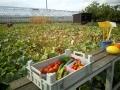 Gemüse selber ernten