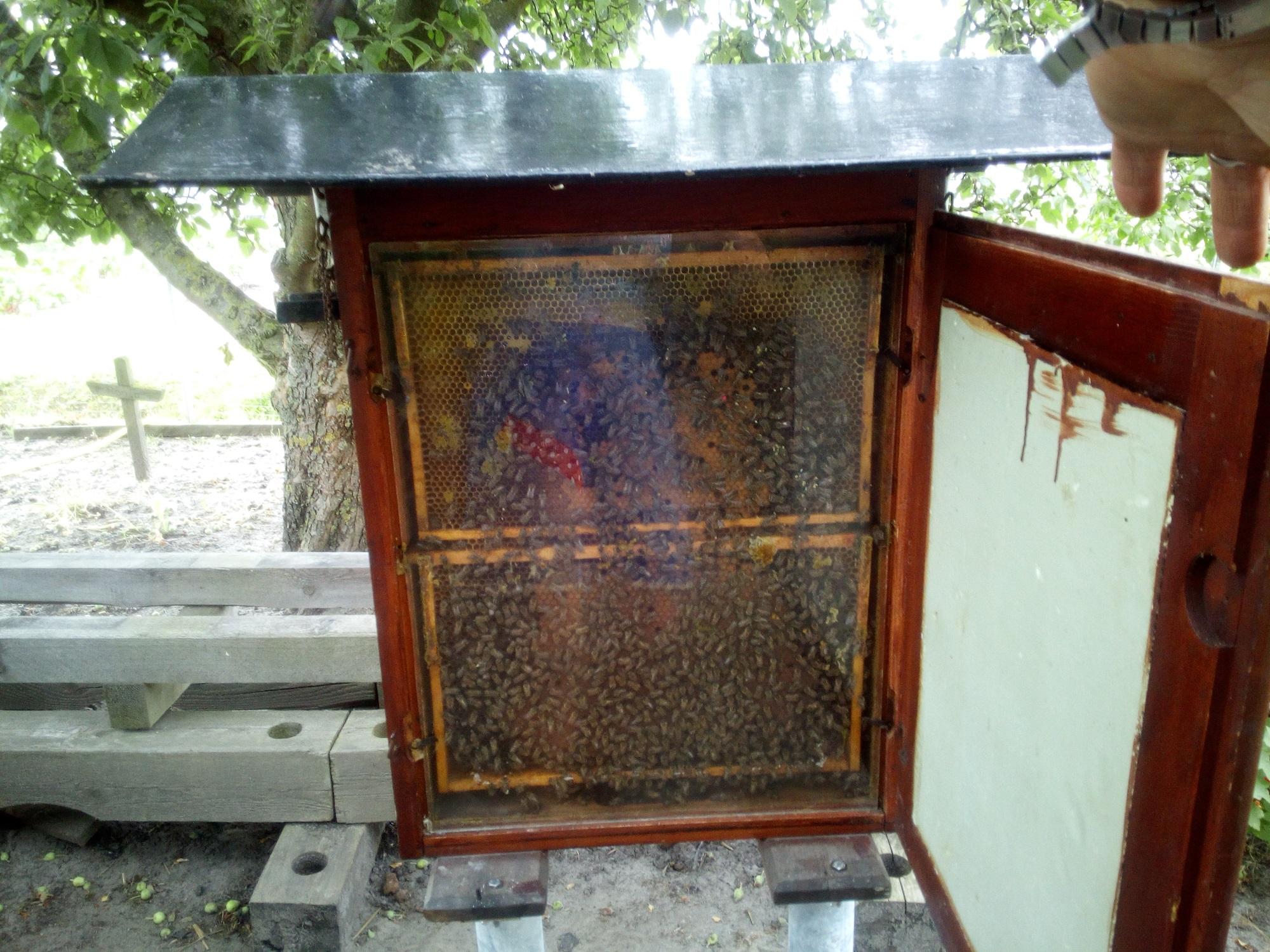 Das Schau-Bienenvolk im Mitmachgartenbau